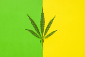 Marijuana cannabis leaf on colorful background. Top view.